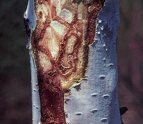 birch borer