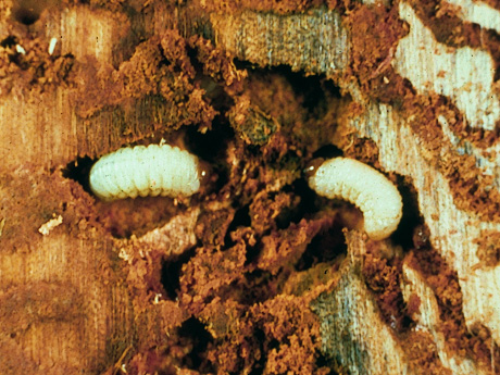 Mountain Pine Beetle Usda Mountain Pine Beetle Larvae