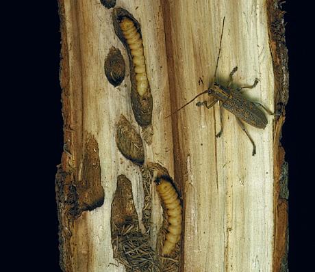 Poplar borer adult and larvae