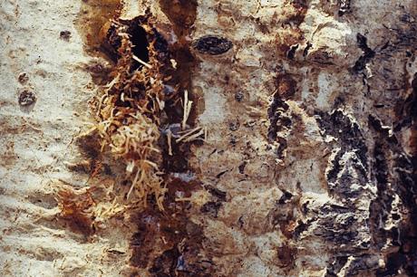 Poplar borer damage