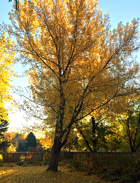 Ash tree in Fall color